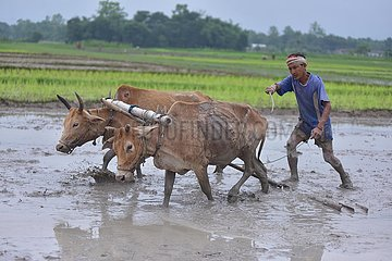 INDIA-ASSAM-NAGAON-PADDY PLANTATION