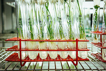 Golden Rice am International Rice Research Institute