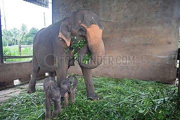 Sri Lanka-Pinnawala Elephant Orphanage-Twin Baby Elefanten