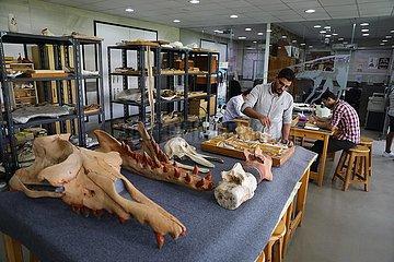 Ägypten-Dakahlien-Mansoura Universitäts-Amphibiomie-Wal-Fossil-Forschung