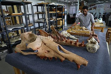 Egypt-Dakahlia-Mansoura University-Amphibricious Whale Fossil-Research Egypt-Dakahlia-Mansoura University-Amphibricious Whale Fossil-Research