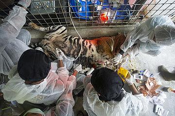 Indonesien-West Sumatra-Sumatran Tiger-Verwundete-Arztprüfung