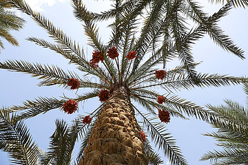 Ägypten-SAQQARA-Datum-Ernte