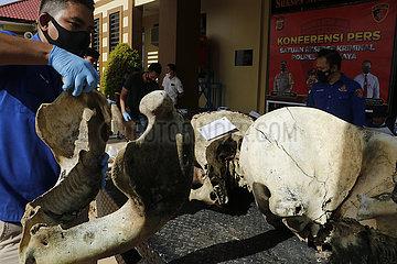 Indonesien-Aceh-Sumatran Elefant-Skeleton-Elfenbein