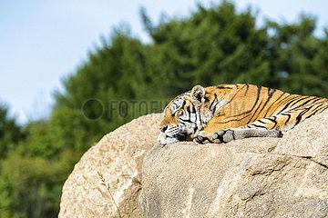 China-Heilongjiang-sibirische Tiger (CN)