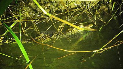 CAMBODIA-BABY SIAMESE CROCODILES-DISCOVERED