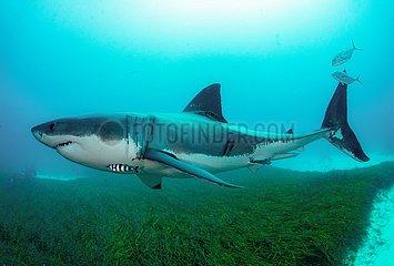 Australien-Report-Shark-Extinction-Risiko