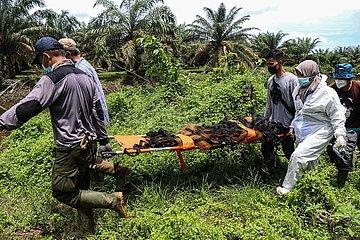 Indonesien-Aceh-wilde Orang-Utan-Rettung