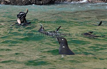 SOUTH AFRICA-PLETTENBERG BAY-ROBBERG NATURE RESERVE-CAPE FUR SEALS