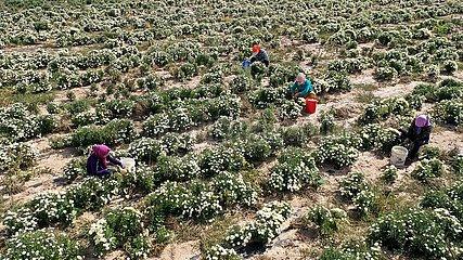 China-Ningxia-Chrysantheme-Industrie (CN)