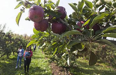 Kanada-Brampton-Thanksgiving Day-Apple-Ernte