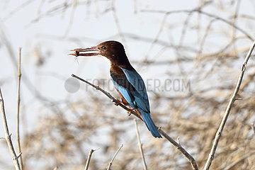 Kuwait-JAHA-Governorat-Birds-Kingfisher
