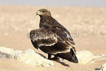 Kuwait-JAHA-Governorat-Steppe Eagles