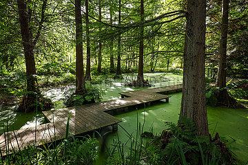 Sumpfzypressen im Tertiaerteich  Botanischer Garten  Ruhr-Universitaet Bochum  Nordrhein-Westfalen  Deutschland