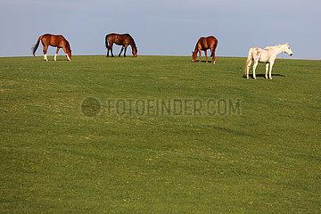 Gestuet Goerlsdorf  Pferde grasen auf einer huegeligen Weide