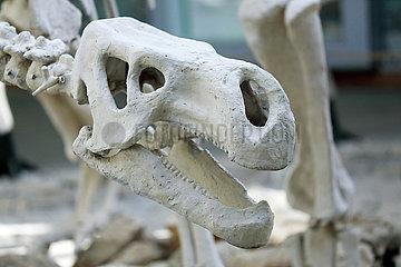 Kutaissi  Georgien  Nachbildung des Schaedelknochens eines Dinosauriers
