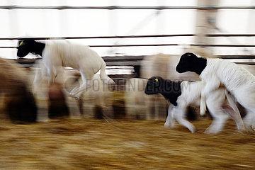 Neu Kaetwin  Deutschland  junge Dorperschafe springen durch einen Laufstall