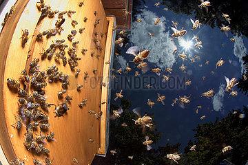 Berlin  Deutschland  Honigbienen im Anflug auf ihren Bienenstock