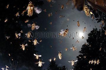 Berlin  Deutschland  Honigbienen im Flug