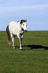 Gestuet Goerlsdorf  Pferd im Schritt allein auf einer Weide