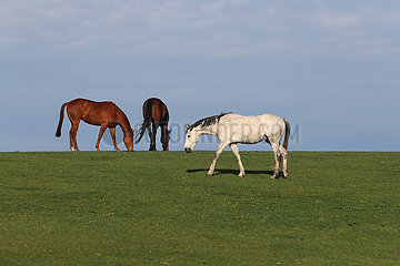 Gestuet Goerlsdorf  Pferde auf einer huegeligen Weide