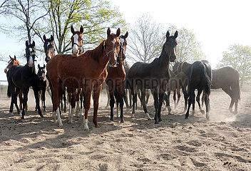 Gestuet Graditz  Pferde auf einem Sandpaddock schauen neugierig zum Betrachter