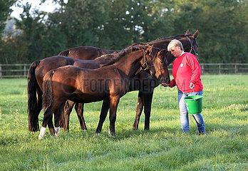 Gestuet Itlingen  Pferdewirtin gibt einer Stute auf einer Weide ein Leckerli