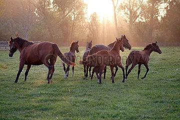 Gestuet Itlingen  Stuten und Fohlen am Morgen im Trab auf einer Weide