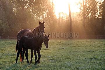 Gestuet Itlingen  Stute und Fohlen am Morgen auf der Weide