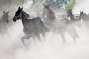 Gestuet Graditz  Pferde wirbeln auf einer Sandkoppel Staub auf