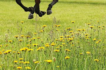 Dresden  Deutschland  galoppierende Pferdebeine hinter Habichtskraut