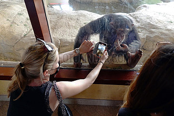 Dubai  Vereinigte Arabische Emirate  Frau fotografiert in einem Zoo einen Schimpansen mit ihrem Smartphone