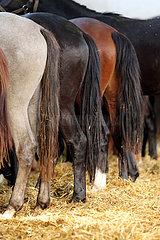 Gestuet Graditz  Pferde stehen in einem Laufstall nebeneinander
