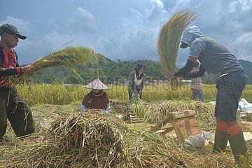 INDONESIA-BOGOR-RICE HARVEST