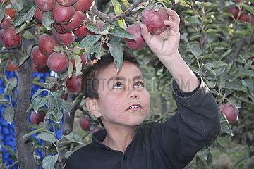 Afghanistan-Wardak-Apple-Ernte